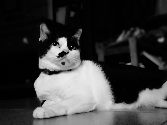 my cat are lazy Cat Kitty Lazy Cat Black And White VINTAGE CAT Headshot Big Head Looking Pets Portrait Sitting Looking At Camera Puppy Cute Animal Themes Purebred Dog