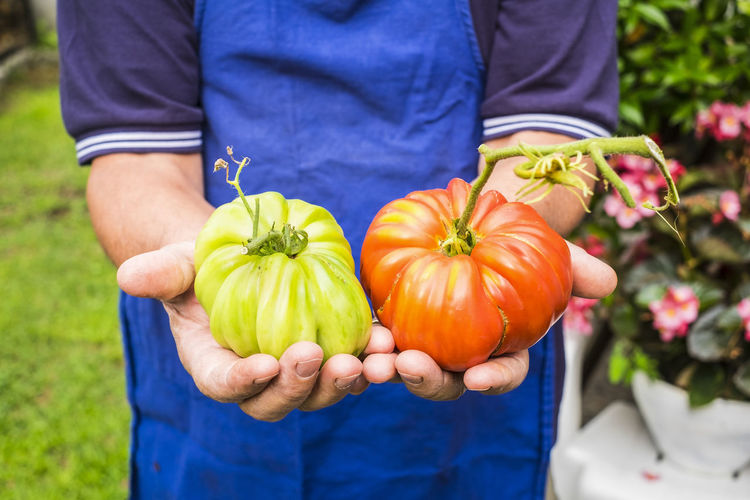 Environment and natural bio tomato vegetable products showed from old farmer lady - colors and nature for healthy food and lifestyle - vegetarian and vegan concept One Person Midsection Holding Freshness Standing Vegetable Food And Drink Agriculture Food Casual Clothing Healthy Eating Focus On Foreground Men Front View Plant Day Wellbeing Nature Organic Hand Outdoors Gardening Ripe Apron Tomatoes Vegetarian Food Caucasian Working Environment Bio Natural Vegan Lifestyles Farmer