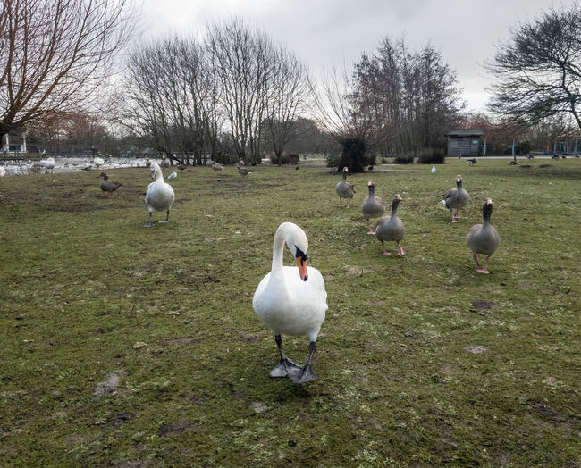 Bird Group Of Animals Animal Day Outdoors Nature Swan Geese Family Geese