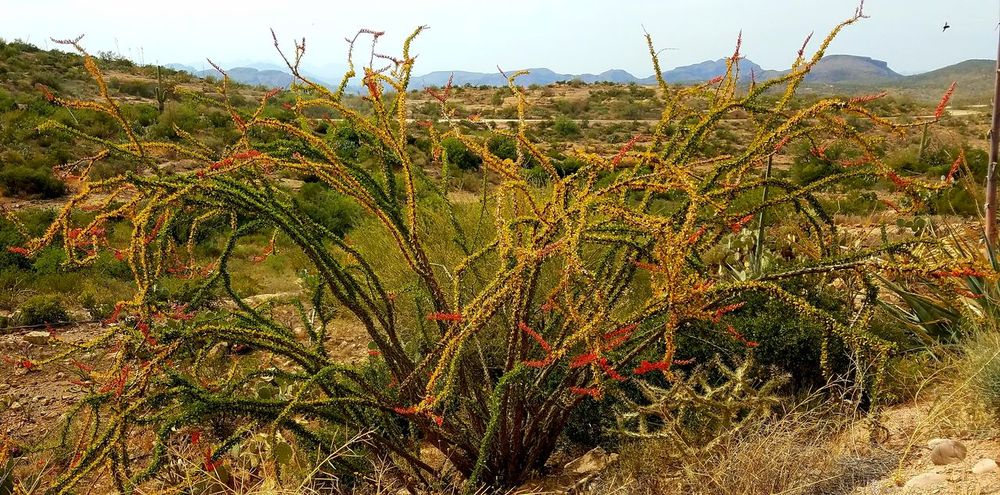 This Ocotillo was so big and luscious and healthy! Growth Nature Plant Cactus Flower Flower Field Beauty In Nature Scenics Wilderness Area Dirt Road Outdoors Red Freshness Desert Landscape Cactus Flowers