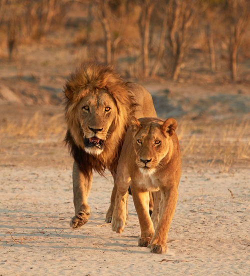 Lion and lioness running in forest