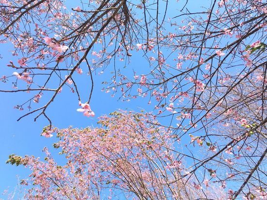 In Love Low Angle View Tree Branch Nature Growth Beauty In Nature Sky Springtime Outdoors No People Clear Sky Sunlight Day Blossom Freshness Fragility Cherry Tree Scenics Close-up Plum Blossom Flower Collection Flowerporn Flowers, Nature And Beauty Flowers,Plants & Garden Flowerlovers