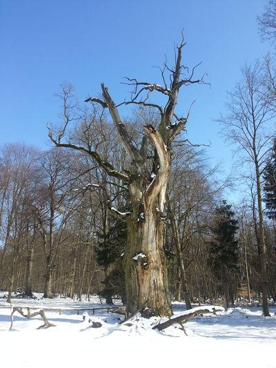 Tree Baum Eiche Oak Ivenacker Eiche Ivenack Winter Schnee Snow Dead Tree