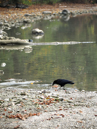 Animal Themes Animal Animal Wildlife Vertebrate Water Animals In The Wild One Animal Lake Bird Day No People Nature Black Color High Angle View Outdoors Crow Reflection Perching Side View