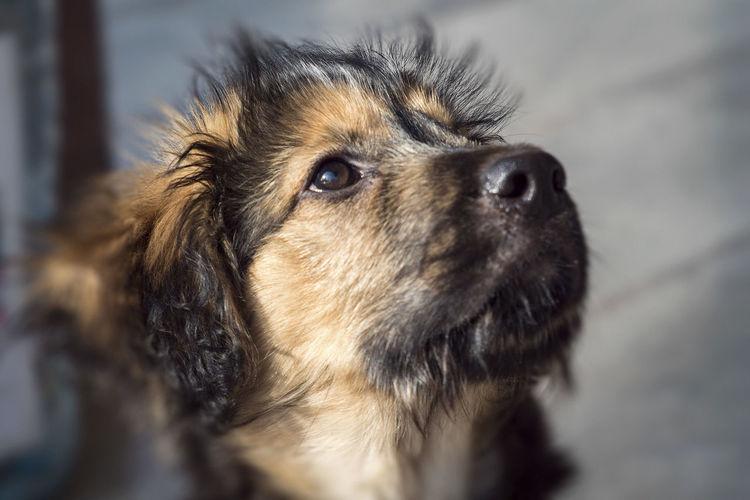 German Shepherd Dog  Animal Hair Animal Themes Close-up Day Dog Domestic Animals Indoors  Mammal No People One Animal Pets Portrait