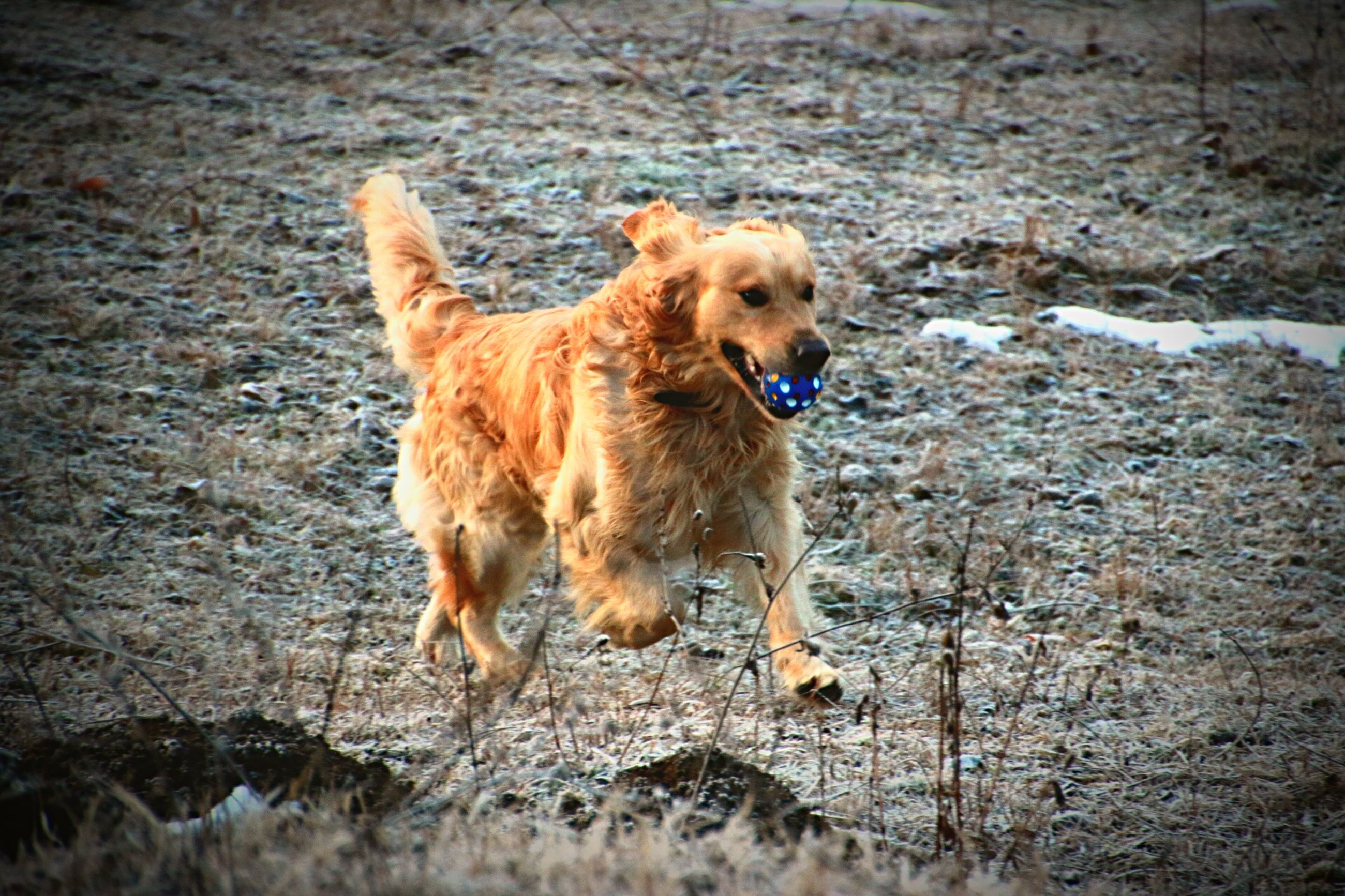 dog, pets, domestic animals, animal themes, golden retriever, one animal, mammal, outdoors, day, no people, retriever, nature