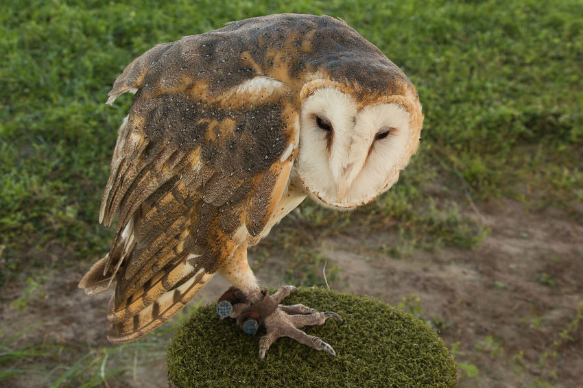 Barn owl on perch Animal Animal Themes Animal Wildlife Animals In The Wild Bird Bird Of Prey Close-up Day Feather  Grass Mammal Nature No People One Animal Outdoors Perching Vulture