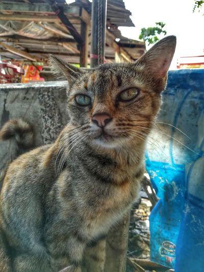 แมววัดเขาตะเครา Animal Themes One Animal Domestic Animals Domestic Cat Portrait Day Close-up Looking At Camera Huawei Collection Huaweiphotography EyeEm Thailand
