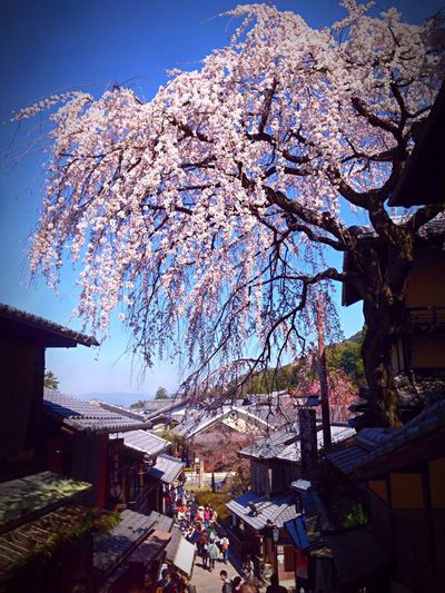 Kyoto Japan Sannei-zaka Cherry Blossoms Blue Sky Spring Flower 京都 日本 産寧坂 桜 春 花 東山