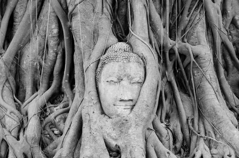 Ayutthaya Buddha Tree Nature Nature Wins Overgrown Thailand Tree Wat Mahathat Ancient Ancient Civilization Archaeology Art And Craft Belief Blackandwhite Buddha Head Craft History No People Place Of Worship Religion Sculpture Spirituality Statue Strangler Fig Temple