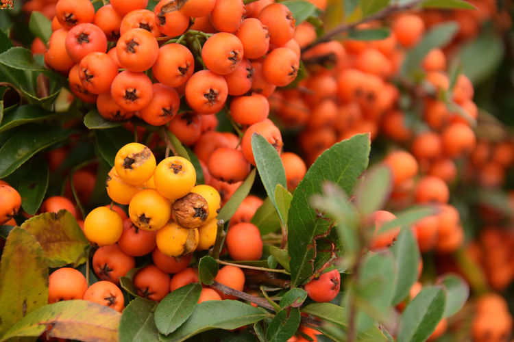 Wet, yellow and red fruits of the cotoneaster in a misty autumn season Cotoneaster Fog Foggy Foggy Day Foggy Weather Autumn Fruit Orange Color Plant Leaf Plant Part Growth Freshness Day Nature Close-up Tree No People Berry Fruit Focus On Foreground Outdoors Ripe Drops Wet EyeEmNewHere