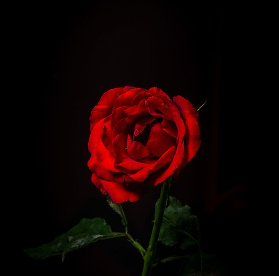 Flower Flowering Plant Beauty In Nature Petal Vulnerability  Plant Fragility Inflorescence Rosé Freshness Close-up Flower Head Red Rose - Flower Black Background Studio Shot Nature Indoors  Growth No People