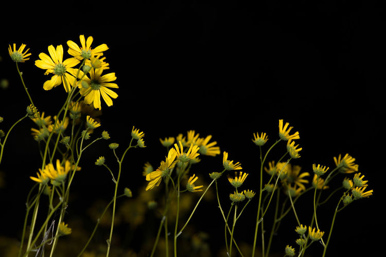 Close-up of yellow flowers blooming against black background
