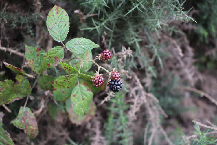 High angle view of berries growing on plant