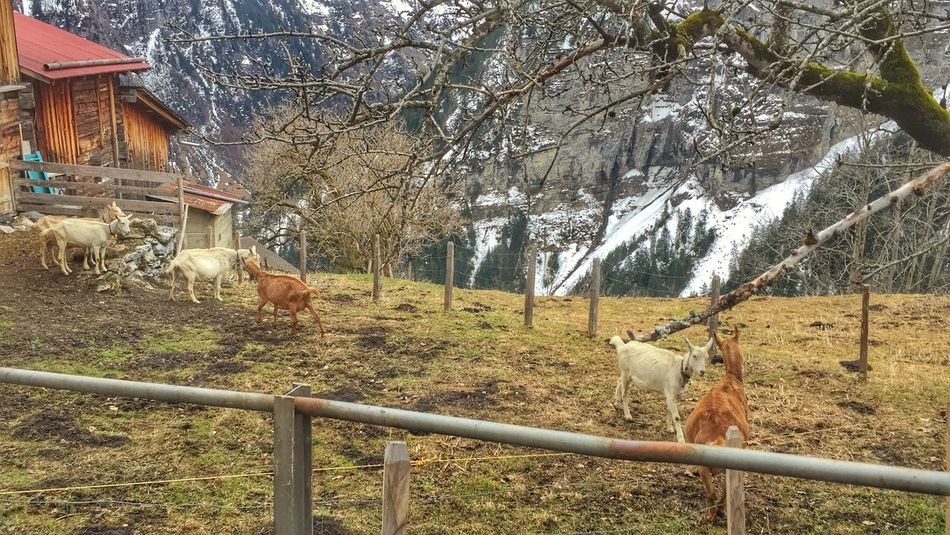 Check This Out Countryside Farmland Enclosure Grass Fence Outdoors Herd Of Goats Animals Herd Livestock Mountain Goats Mountain Goat Farm Life Farm Winter Snow