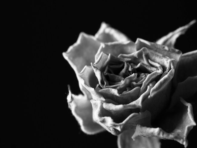 Studio Shot Close-up Black Background Flower Fragility No People Freshness Flower Head Crumpled Nature Day