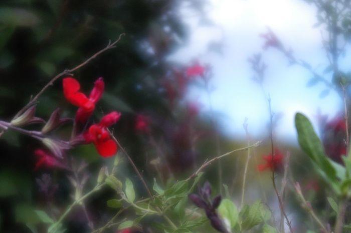 この手が暖かいのは。 Flower Nature Plant Beauty In Nature Fragility Petal Red サルビア 赤い血潮を切り裂いてみせようか。