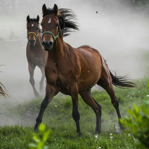 Animal Themes Arabian Horses Brown Domestic Animals Gallop Galloping Herd Of Horses Horse Horse Stud Horses Mammal Nature No People Outdoors