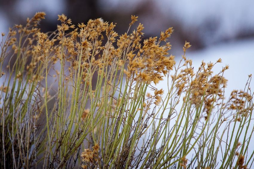 Yellowstone plants in winter Selective Focus Plant Growth Beauty In Nature Nature No People Day Tranquility Outdoors Sky Close-up Low Angle View Cloud - Sky Winter Cold Temperature Flowering Plant