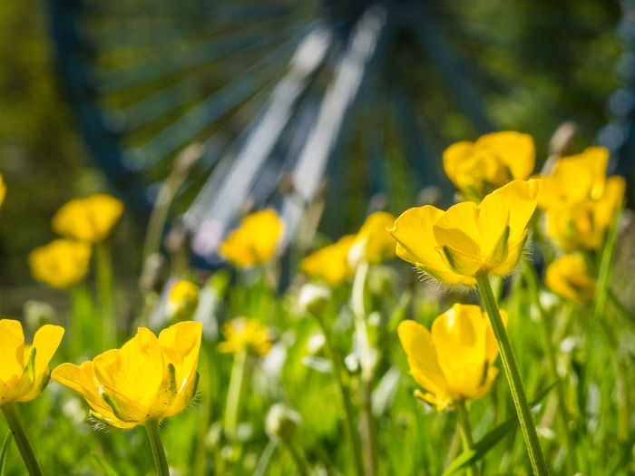 Beauty In Nature Blooming Blossom Butter Cups Close-up Daffodil Day Field Flower Flower Head Focus On Foreground Fragility Freshness Growth In Bloom Nature Old Mine Old Mine Works Petal Pit Wheel Plant Springtime Tranquility Vibrant Color Yellow