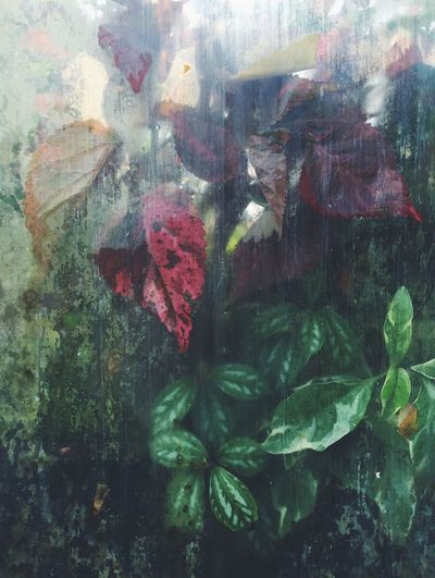 Leaves growing behind glass in a large greenhouse. Close-up Full Frame Nature Multi Colored Day Freshness Red No People Beauty In Nature Green Color Pink Color Muted Colours leaves Plants botanical Greenhouse condensation Indoors  IPhone Muted Colors Greenery Green Red Leaves Decay Growth