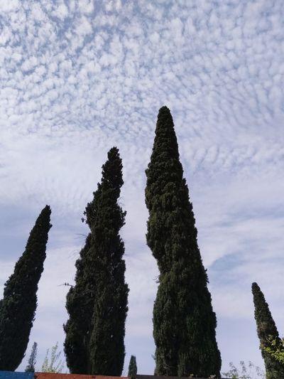 Pinaceae Pine Tree Sky First Eyeem Photo