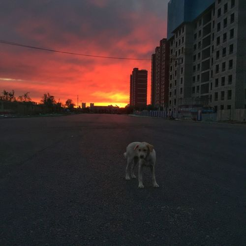 Sunset Built Structure Sky Architecture Building Exterior City Mammal Dog Domestic Animals Pets Cloud - Sky Animal Animal Themes Domestic Road No People Canine Nature Building Orange Color