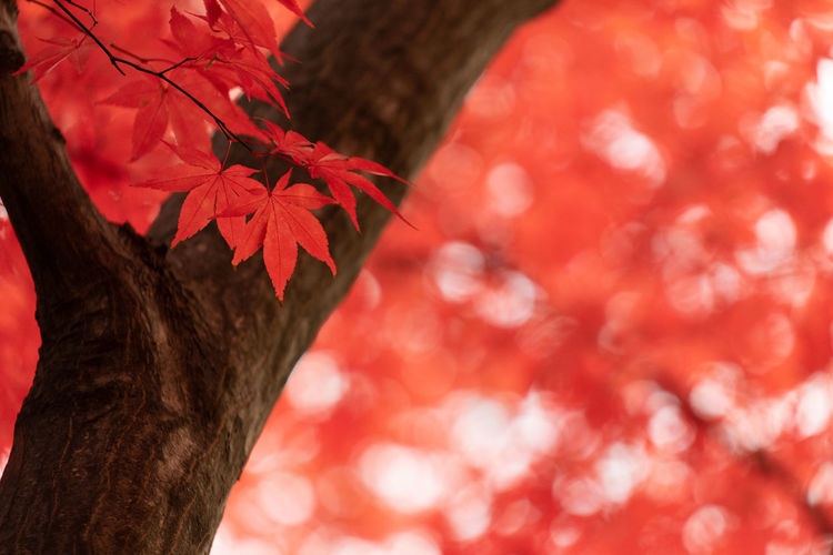 Trunk Tree Trunk Red Tree Plant Close-up Focus On Foreground Plant Part Leaf Autumn Nature Branch Growth Day Change No People Beauty In Nature Selective Focus Outdoors Textured  Maple Leaf Leaves Natural Condition