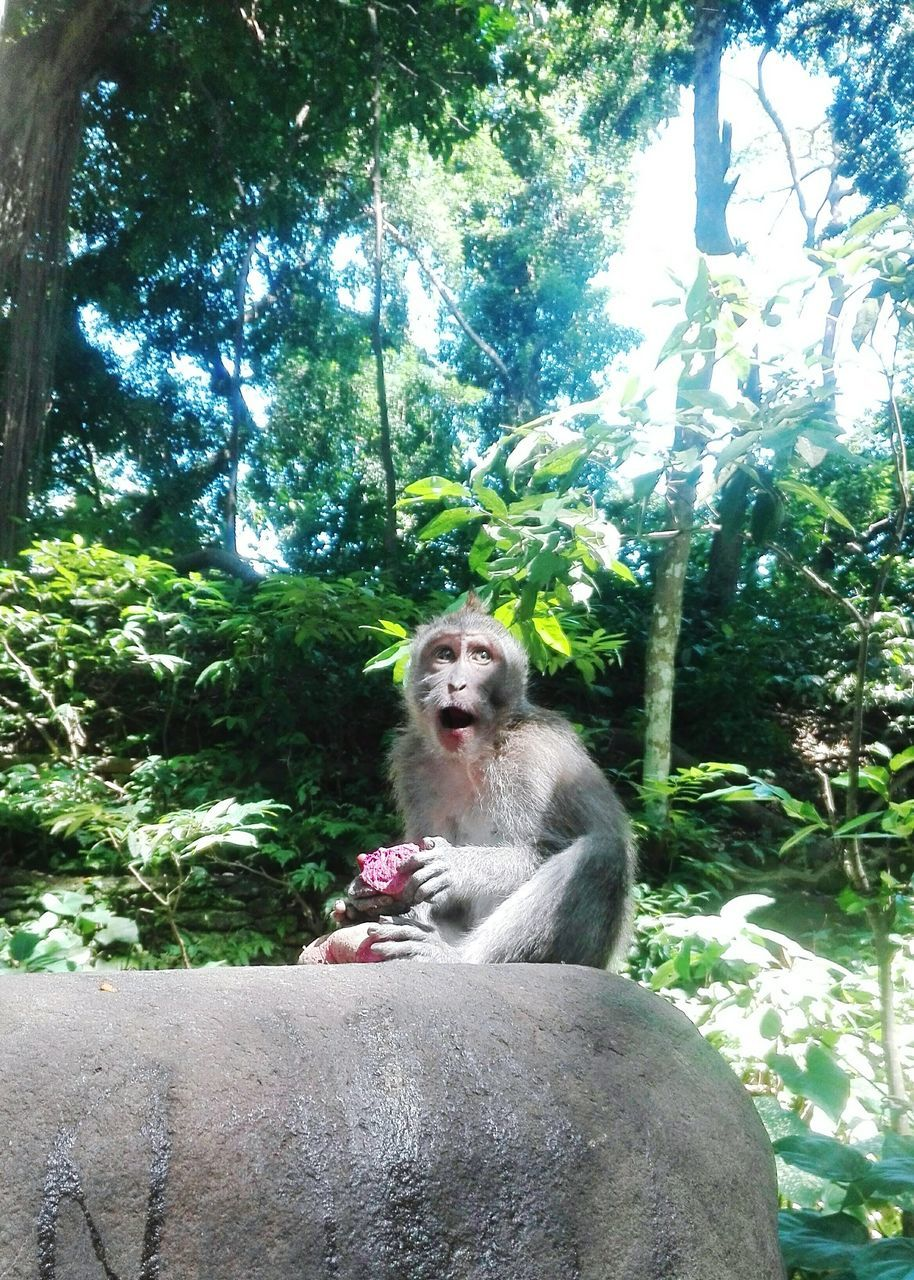 animal wildlife, mammal, primate, tree, animals in the wild, one animal, sitting, plant, vertebrate, day, nature, forest, mouth, mouth open, people, land, outdoors