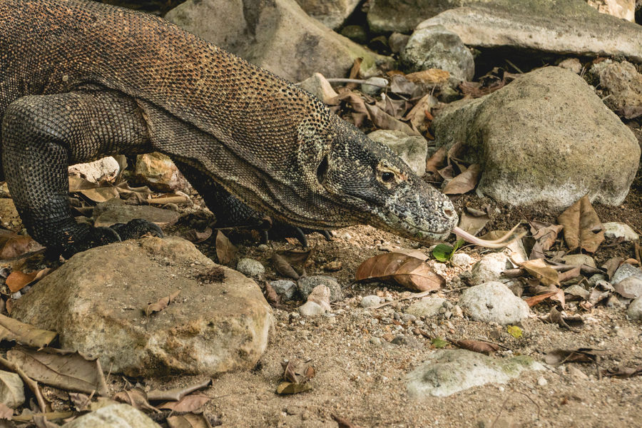 This photo was taken in Indonesia at the komodo national park at the Komodo island. The komodo varanus is the bigest lizard on the world. This monitor lizards are living only on four islands in Indonesia. They can grow more than five meters. Their colour are brown, grey and black. Komodo Dragon Lizard Lizard Close Up Lizards Reptile Varanus Varanus Komodoensis Animal Animal Themes Animal Wildlife Animals In The Wild Komodo Komodo Island Komodo National Park Komododragon Komodoisland Komodonationalpark Lizard Nature Monitor Monitor Lizard Nature No People Reptile Photography Reptile World Reptiles