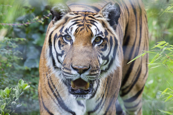 Animal Wildlife BeNGaL TiGeR Captivity Captivity Of A Wild Best Cat Day Looking At Camera Mammal Nature No People One Animal Outdoors Scary Teeth Tiger