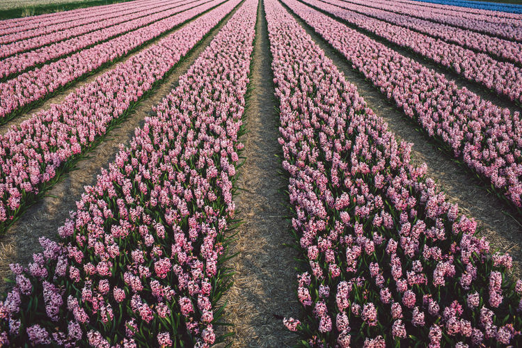 Springtime Decadence Hyacinth Flowers Agriculture Field Growth Flower Plant Flowering Plant Beauty In Nature Freshness Nature Land No People Rural Scene Tranquility In A Row Landscape Fragility Vulnerability  Purple Farm Tranquil Scene Diminishing Perspective Springtime Order Outdoors Flowerbed