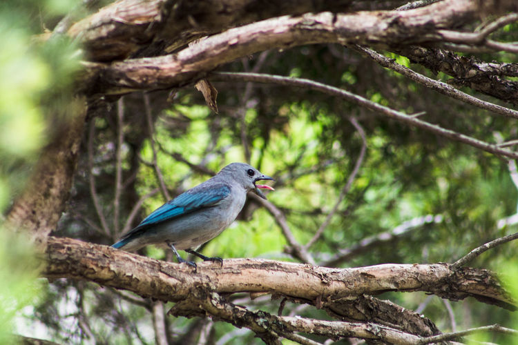 Blue-gray tanager sticking its tongue out. Animal Themes Beauty In Nature Bird Bird Tongue Birds Blue Birds Blue-gray Tanager One Animal Perching Tanager Tanagers Tree