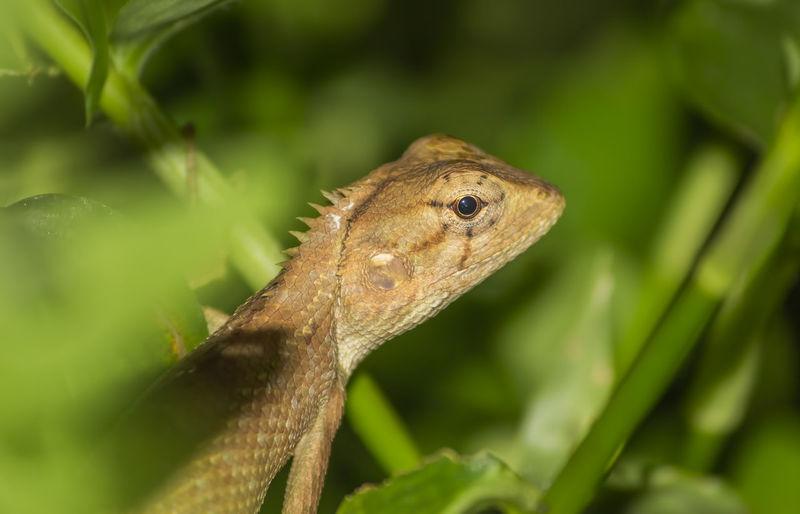 brown lizard on