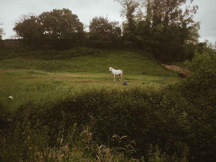 White horse in