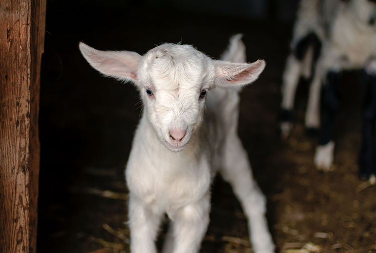 Close-up of kid goat standing outdoors