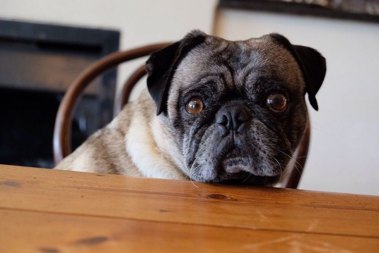 One Animal Domestic Animals Close-up Portrait Looking At Camera Dog Lover pug Puglove  cute pug Indoors  Pets EyemNewHere Big Eyes O.O Adorable Dog I Love It ❤ I Love My Dog I Love Pugs🐶 I LOVE PHOTOGRAPHY❤️ First Eyeem Photo