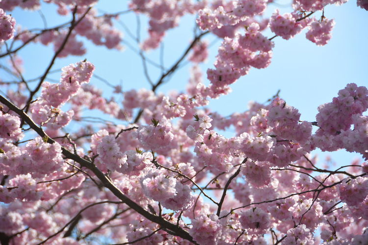 Low angle view of cherry blossoms