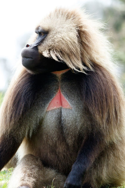 Simien Mountains Animal Themes Animal Wildlife Animals In The Wild Ape Baboon Close-up Day Gelada Baboon Mammal Monkey Nature No People One Animal Outdoors Primate Sitting