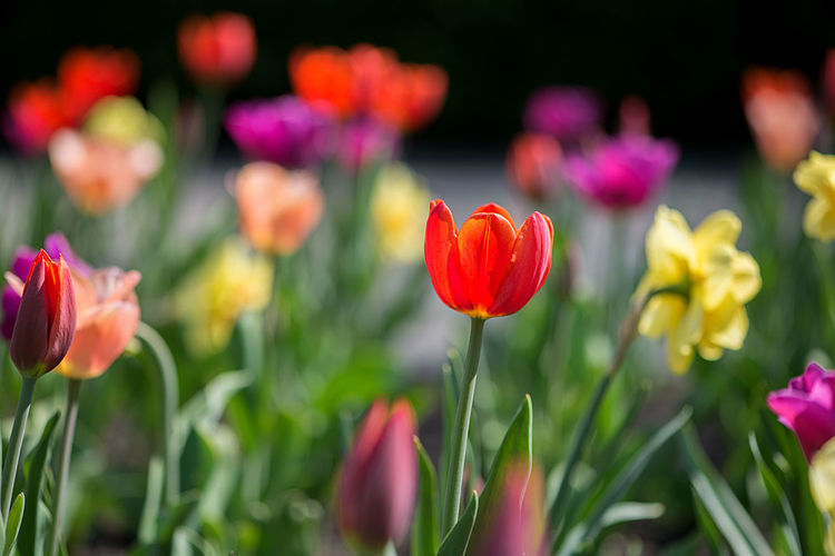 Close-up of colorful tulip blooming outdoors
