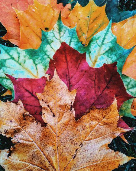 Autumn Leaves Autumn Autumn Colors EyeEm Best Shots - Autumn / Fall Nature EyeEm Nature Lover Nature_collection Beautiful Nature EyeEm Best Shots IPS2015Color