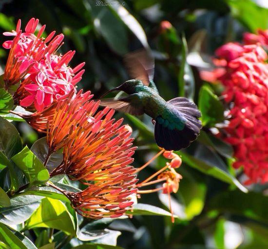 Nikonphotography Green Color Colibrí Nikon Green 971 Gwada  WestIndies Caribbean Antilles Urbanvybz Guadeloupe Hello World Westindies_pictures Nature TheWeekOnEyeEM Beautiful Legosier Hummingbird