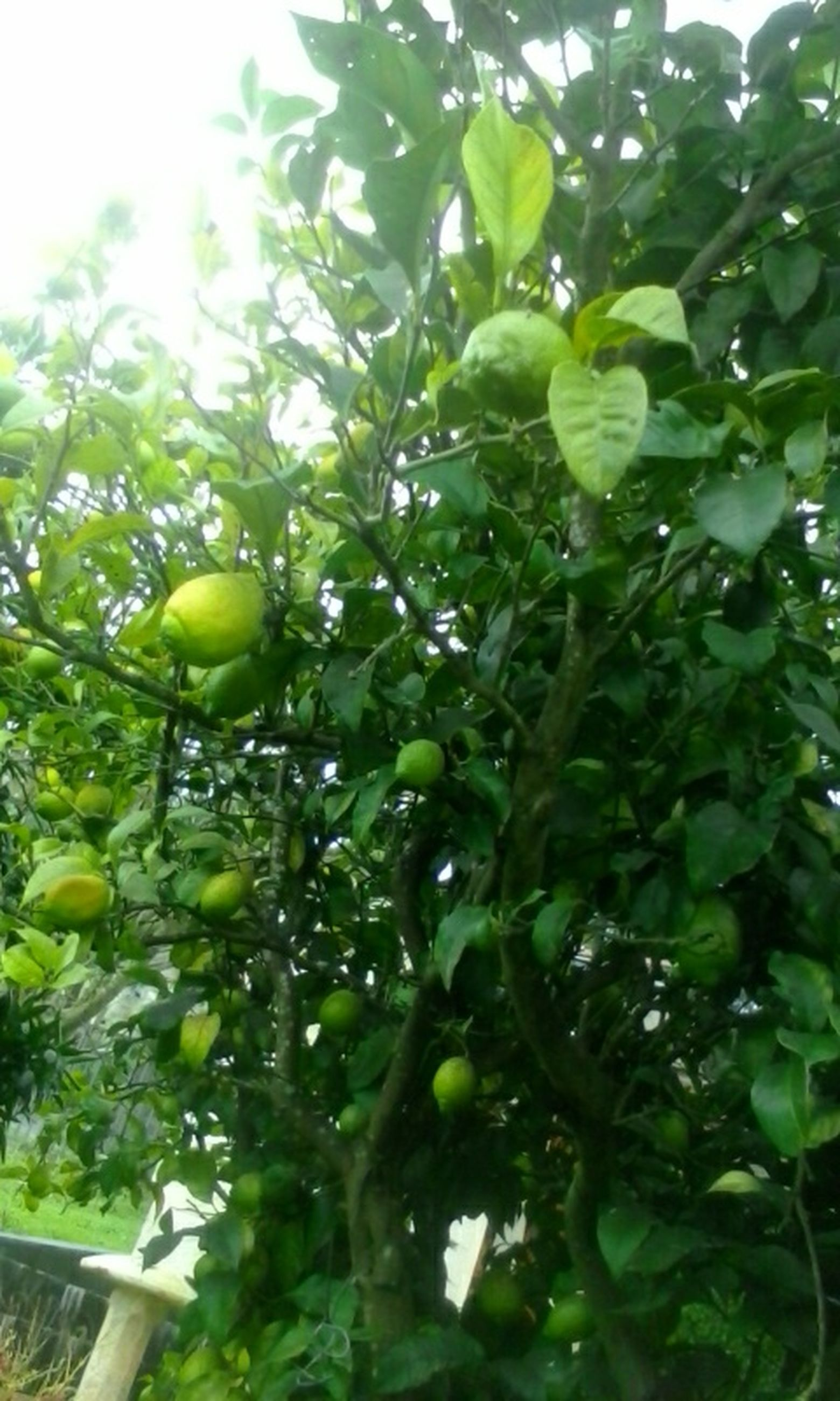 green color, growth, tree, leaf, freshness, close-up, nature, branch, low angle view, fruit, food and drink, day, drop, no people, plant, green, outdoors, focus on foreground, food, beauty in nature