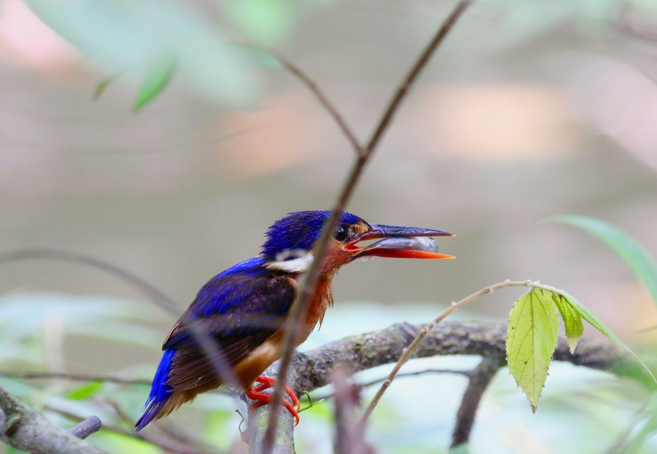 Close-Up Of Kingfisher Perching With Dead Fish On Branch