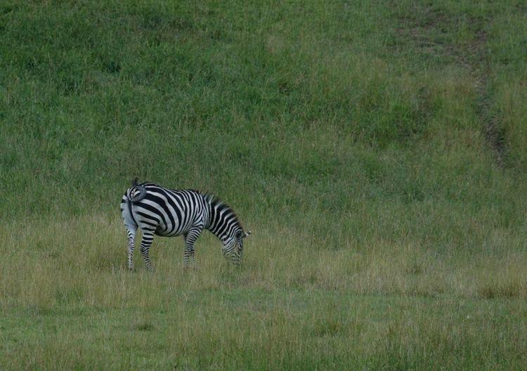 Zebra Field Of Green Grazing Zebra Black And White Wildlife Photography