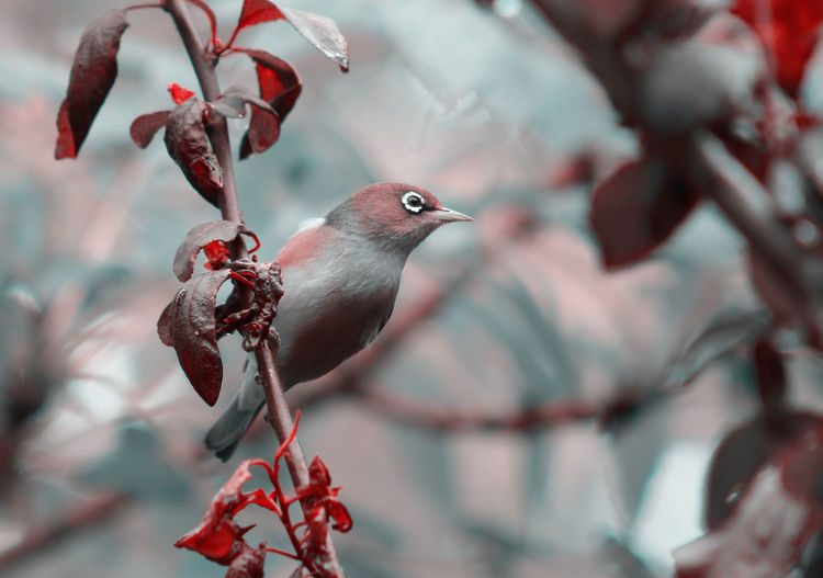 The Silvereye or Wax-eye in a summer garden in black, white and red tone White-eye Animal Themes Animal Wildlife Animals In The Wild Beauty In Nature Bird Branch Close-up Day Flower Freshness Growth Nature No People One Animal Outdoors Perching Red Silver  Silver-eye Tree Wax Eye Wax-eye