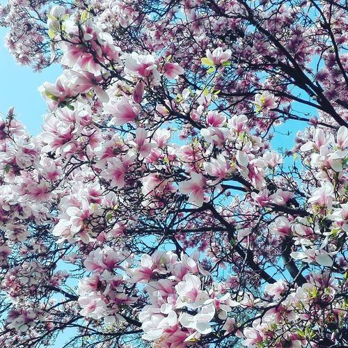 Tree Growth Nature Branch Beauty In Nature Low Angle View Pink Color No People Close-up Springtime Day Outdoors Flower Freshness Fragility Full Frame Backgrounds Blossom Sky Tuliptree Tulips