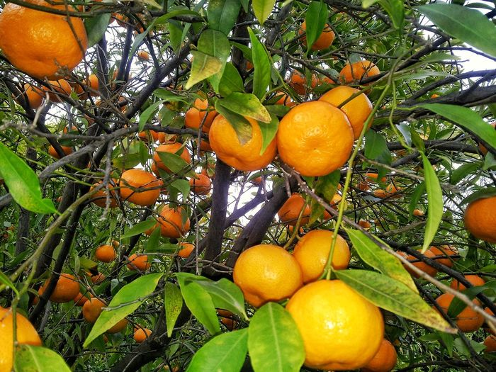 mandarins... Mandarins Mandarini Sicilian Etna Fruits Italy Nature Food And Drink Ecological Green Color No People Raccolta Agrumi Coltivazione Agrumicoltura Tree Fruit Leaf Orange Tree Citrus Fruit Branch Orange Color Orange - Fruit Food And Drink Green Color Tangerine Fruit Tree