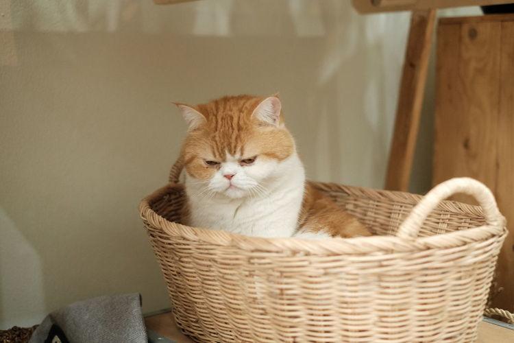 Portrait of cat relaxing in basket