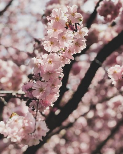 Flowering Plant Flower Fragility Plant Freshness Blossom Growth Twig Day Botany Close-up Vulnerability  Beauty In Nature Springtime Cherry Blossom Branch Tree Petal Nature Pink Color
